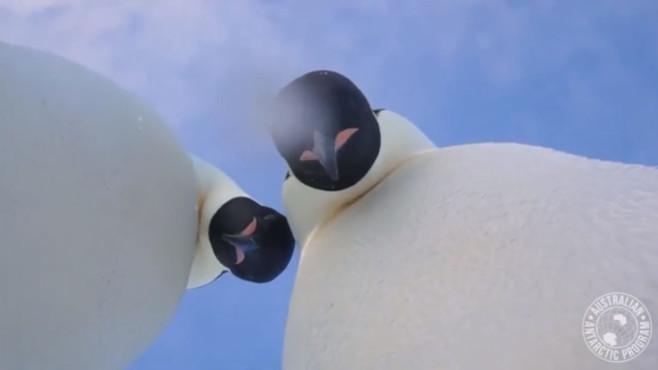 Selfie von Kaiserpinguinen©Australian Antarctic Division