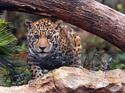 Leopard © Ronnie Howard - Fotolia.com