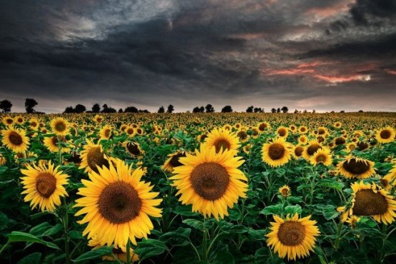 Bild: Sunflowers of the Storm – von: mibreit