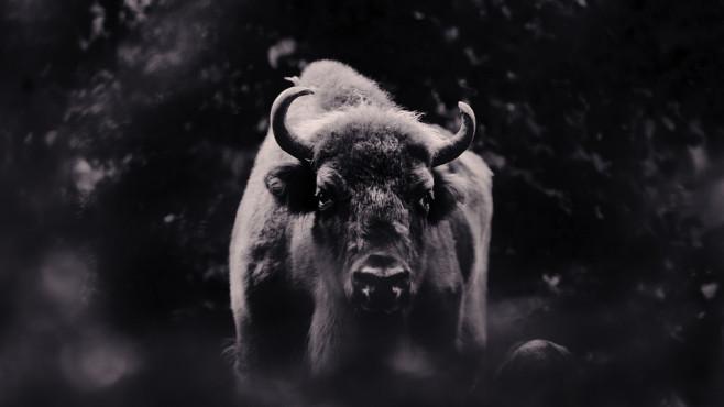 Bison – von: maenne50 ©maenne50