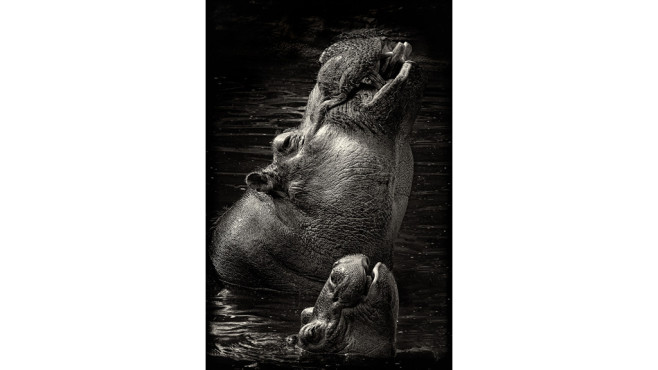 Happy Hippos � von: casimir77 © casimir77