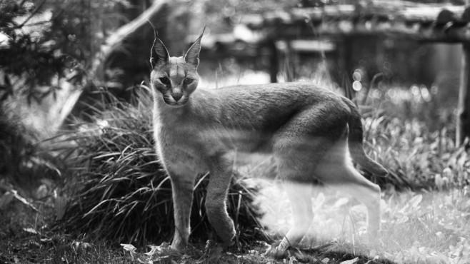 Lynx Life – von: trimorv ©trimorv
