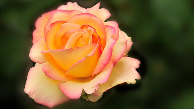 Rose – von: Helikos ©Helikos