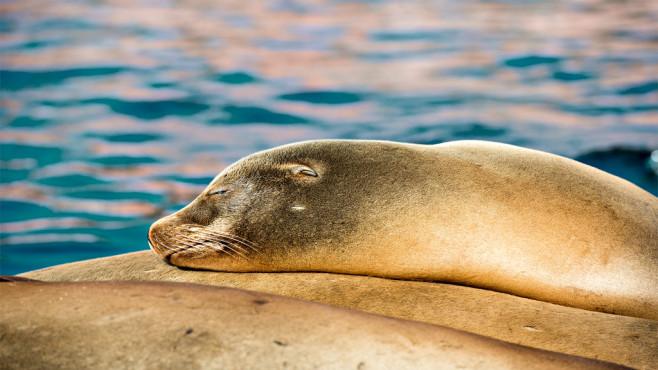 Schlafender Seehund – von: maenne50 ©maenne50