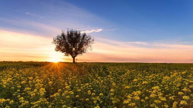 Senfblüte im Sonnenuntergang – von: AlexZachen ©AlexZachen