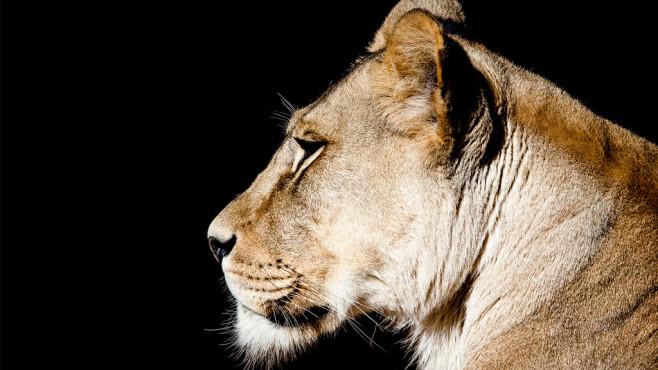 Löwin ©slim