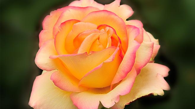Rose ©Helikos