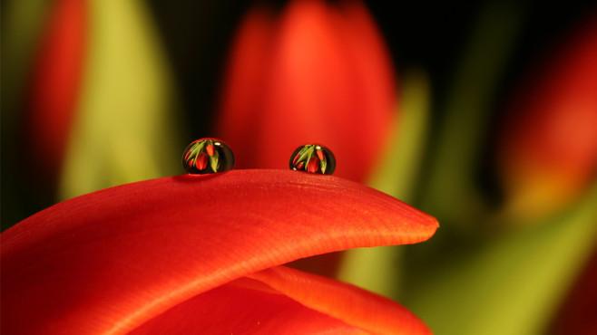 Tulpentropfen ©binesfotos
