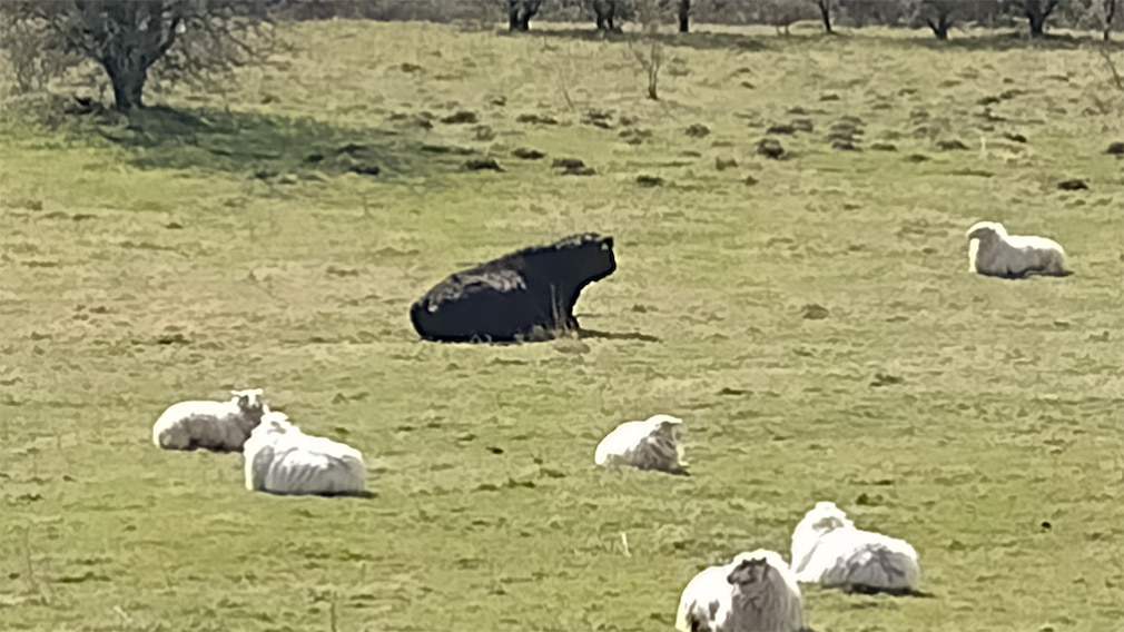 Schafe und Galloway auf der Weide