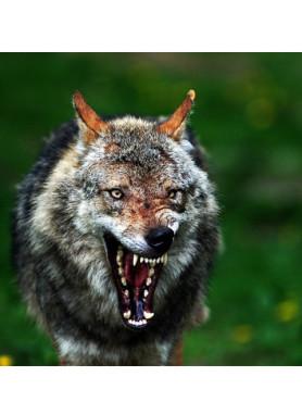 Aggressiver Wolf im Tierpark
