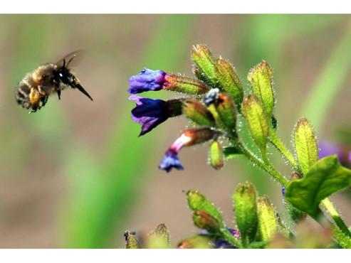 Biene im Anflug auf eine Blumenblüte
