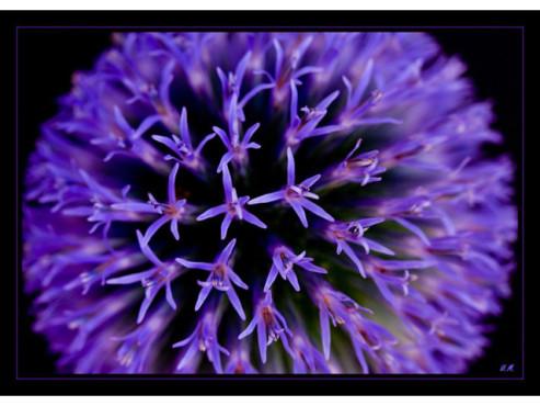 Blüte einer Kugeldistel