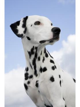 Dalmatiner vor Himmelhintergrund