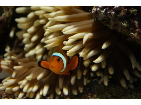 Ein Clownfisch versteckt sich in einer Anemone
