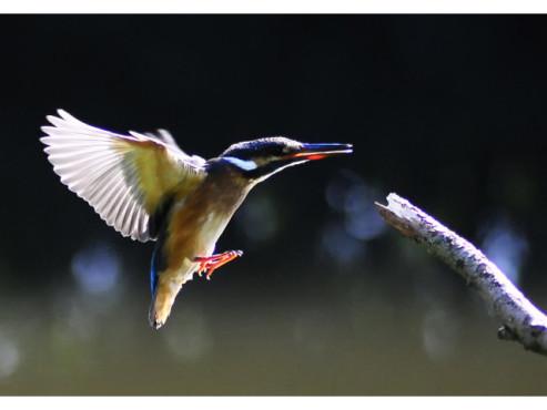 Ein Eisvogel bei der Landung auf einem Stock