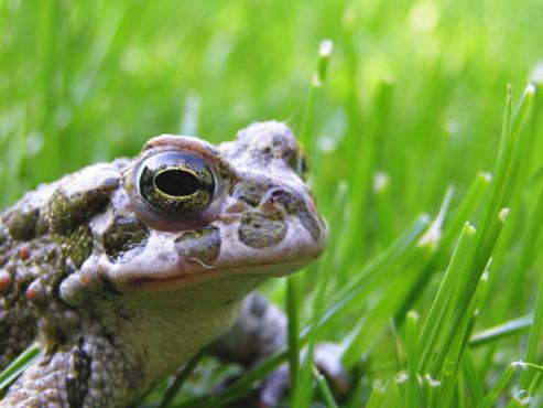 Ein Frosch im Gras