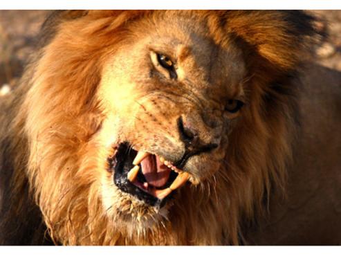 Ein Löwe im Porträt