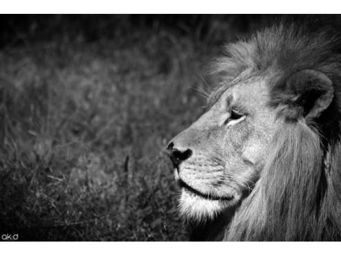 Ein Löwe im Profil