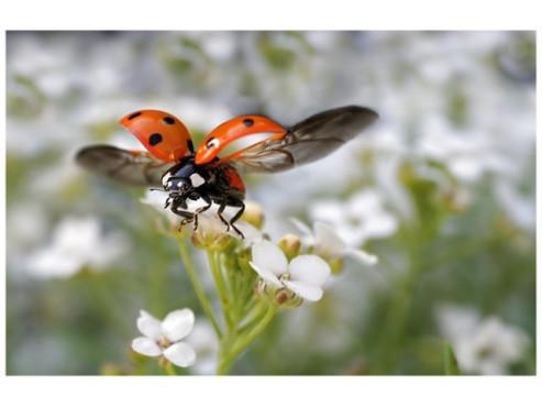Ein Marienkäfer beim Abflug