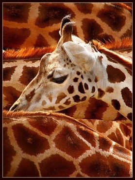 Eine Giraffe zwischen Artgenossen