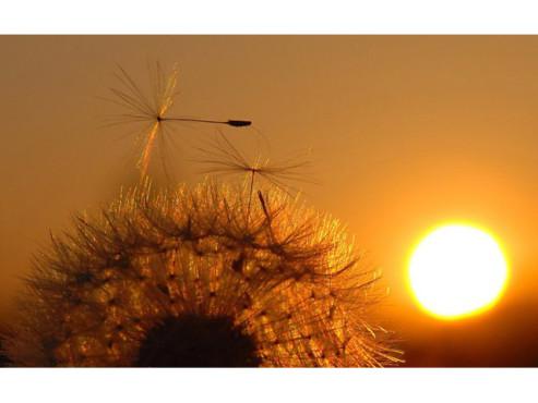 Eine Pusteblume vor untergehender Sonne