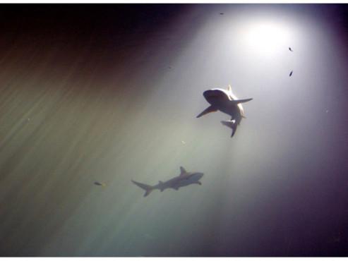 Haie im Aquarium