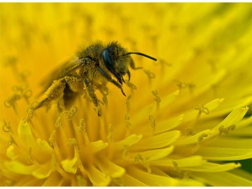 Honigbiene beim Nektar sammeln
