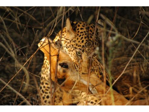Leopard mit einem erbeuteten Impala