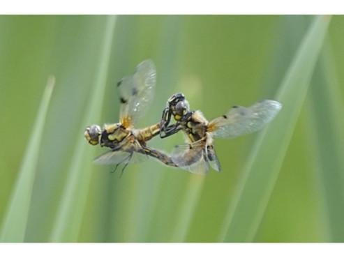 Libellen beim Paarungsflug