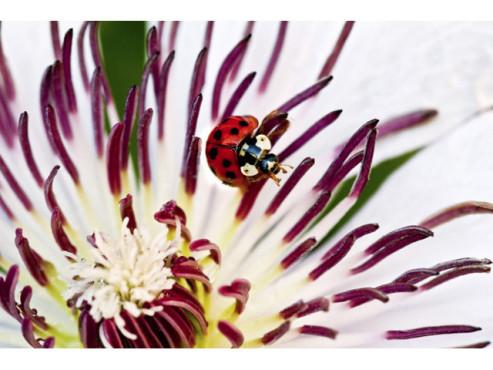 Marienkäfer in einer Blume