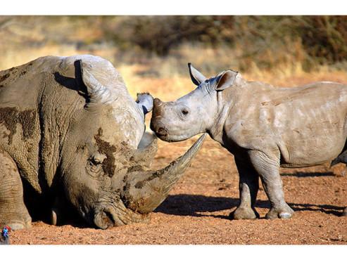 Nashörner in der Savanne