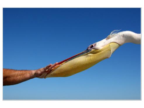 Pelikan schnappt nach einer Menschenhand