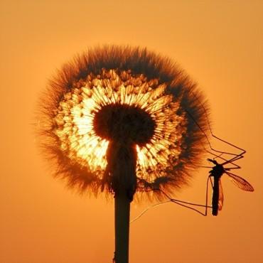 Stechmücke an einer Pusteblume