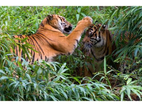 Tiger im Wald