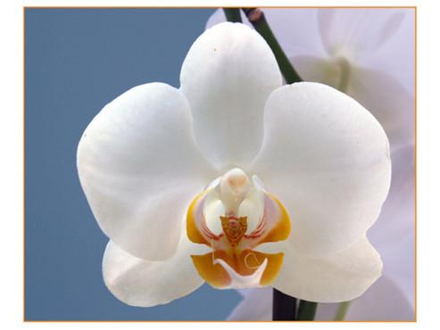 Weiße Orchideenblüte