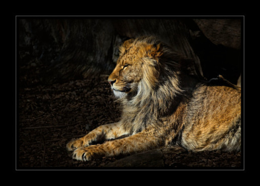 Bild: The Lion sleeps tonight – von: jung86 © Bild: The Lion sleeps tonight – von: jung86