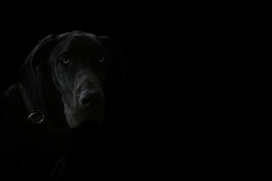 Deutsche Dogge – von: fototatort ©fototatort