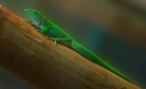 Gekkonidae – von: Photomagie ©Photomagie