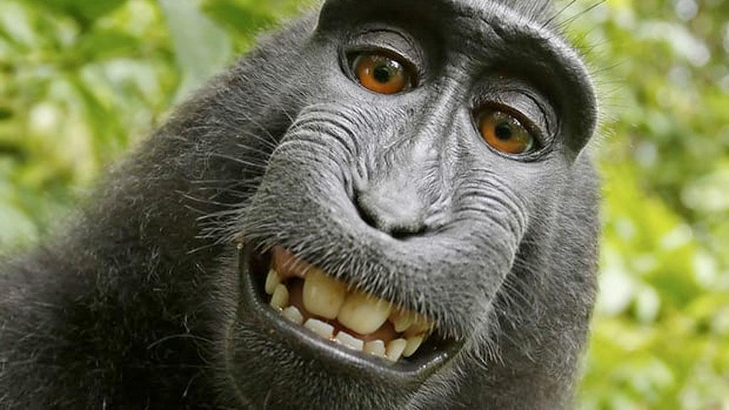 Affen-Selfie: Primat bekommt kein Geld für sein Foto
