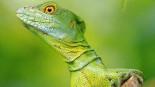 ©Young Iguana � von: Lichtbildwelten
